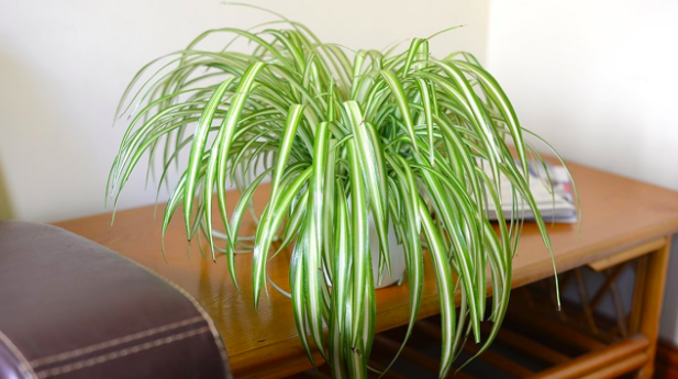 Spider plant easy indoor plants