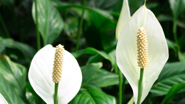 easy indoor plants Peace Lily